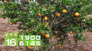 Ủ rơm rạ vào gốc cây cam, nên hay không? | VTC16