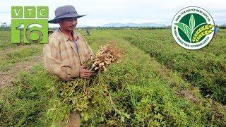 Bỏ lúa trồng lạc: Kết quả khiến nông dân bất ngờ