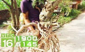 Cách trồng đinh lăng tăng thu nhập