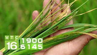 Cảnh báo bệnh đạo ôn trên lúa và cách phòng trừ